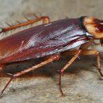 Cockroaches